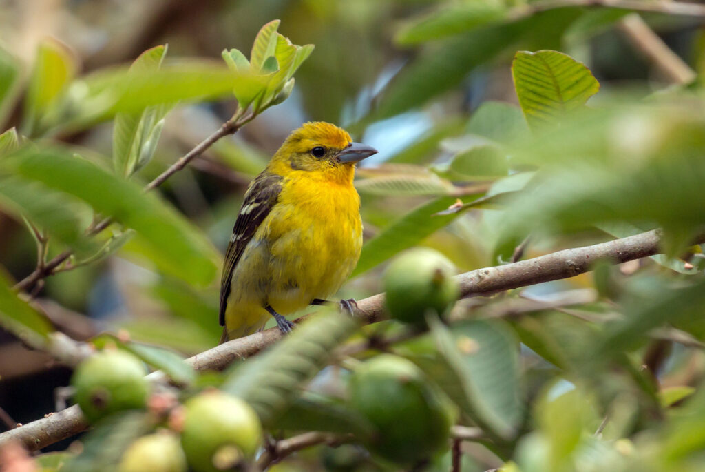 A female Flame-colored Tanager perches in a coffee tree on a farm in Panama. Photo by Sue Bishop/Shutterstock