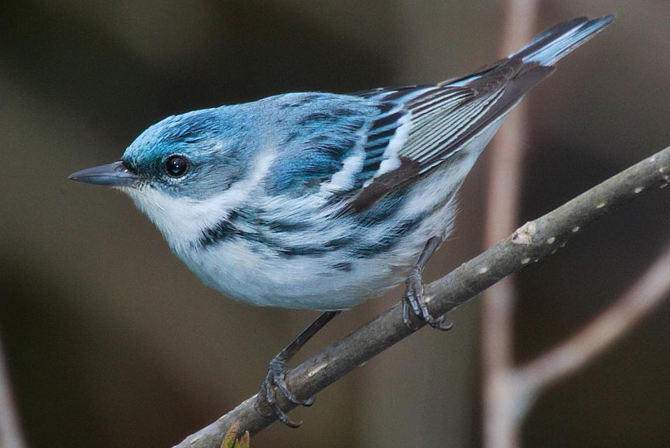 Adult male cerulean warbler (Dendroica cerulea). This migratory songbird breeds in eastern North ... [+] MDF VIA A CREATIVE COMMONS LICENSE
